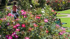 Morwell Centenary Rose Garden in full bloom