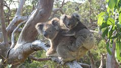 Conserving Koala habitats in the Great Otway National Park