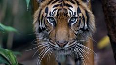 tiger at Melbourne Zoo