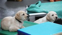 Future Seeing Eye Dogs