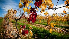 Rutherglen Autumn Vineyard