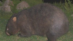 Common Wombat