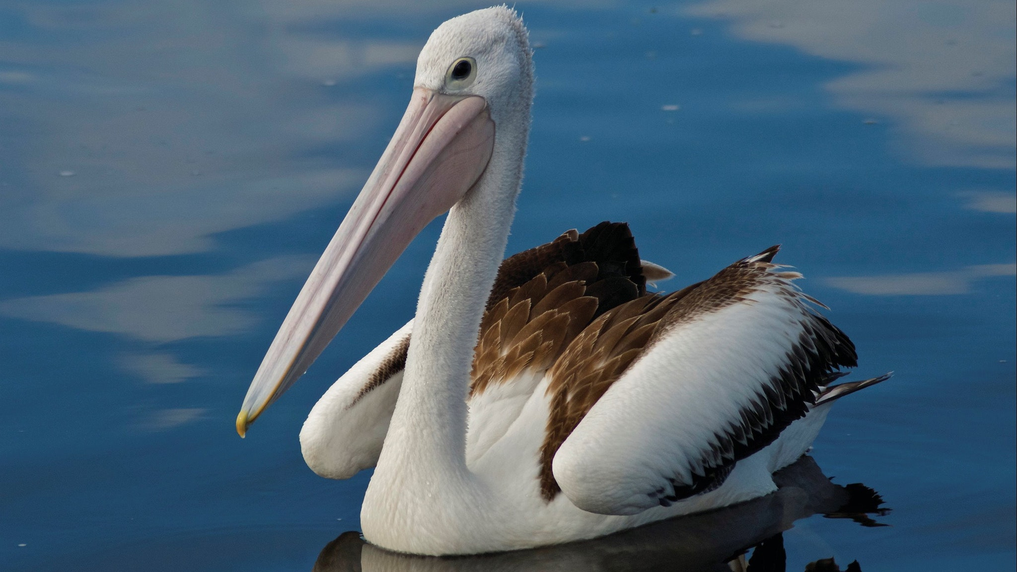 Pelican at Bemm River