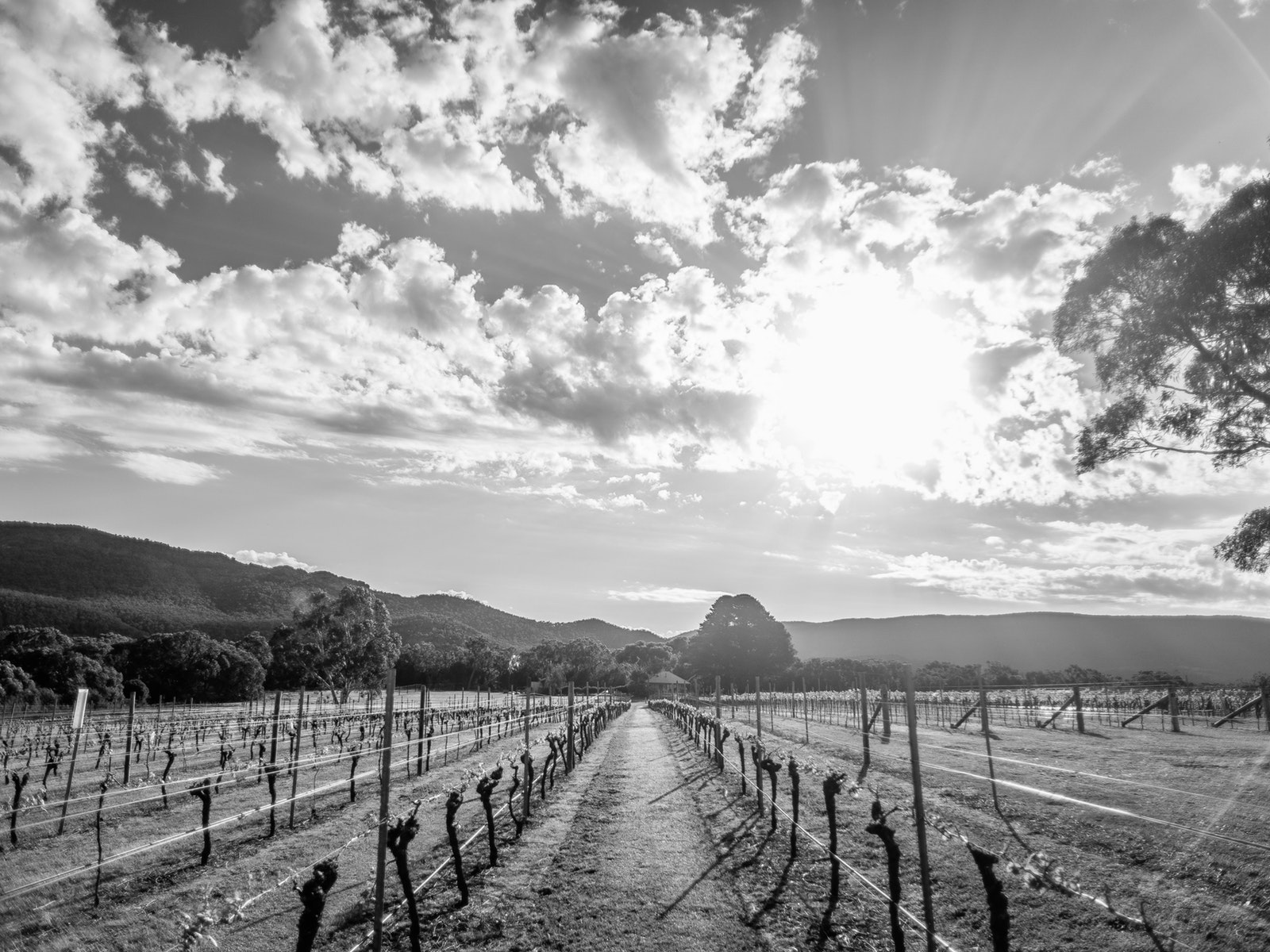 Halls Gap Estate - Fallen Giants Vineyard