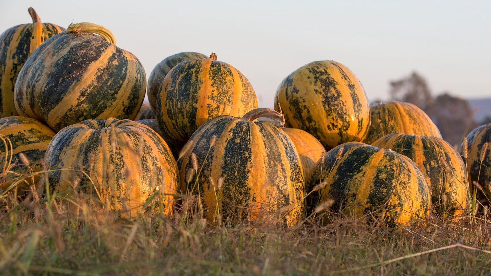 Pile of our Styrian pumpkins.