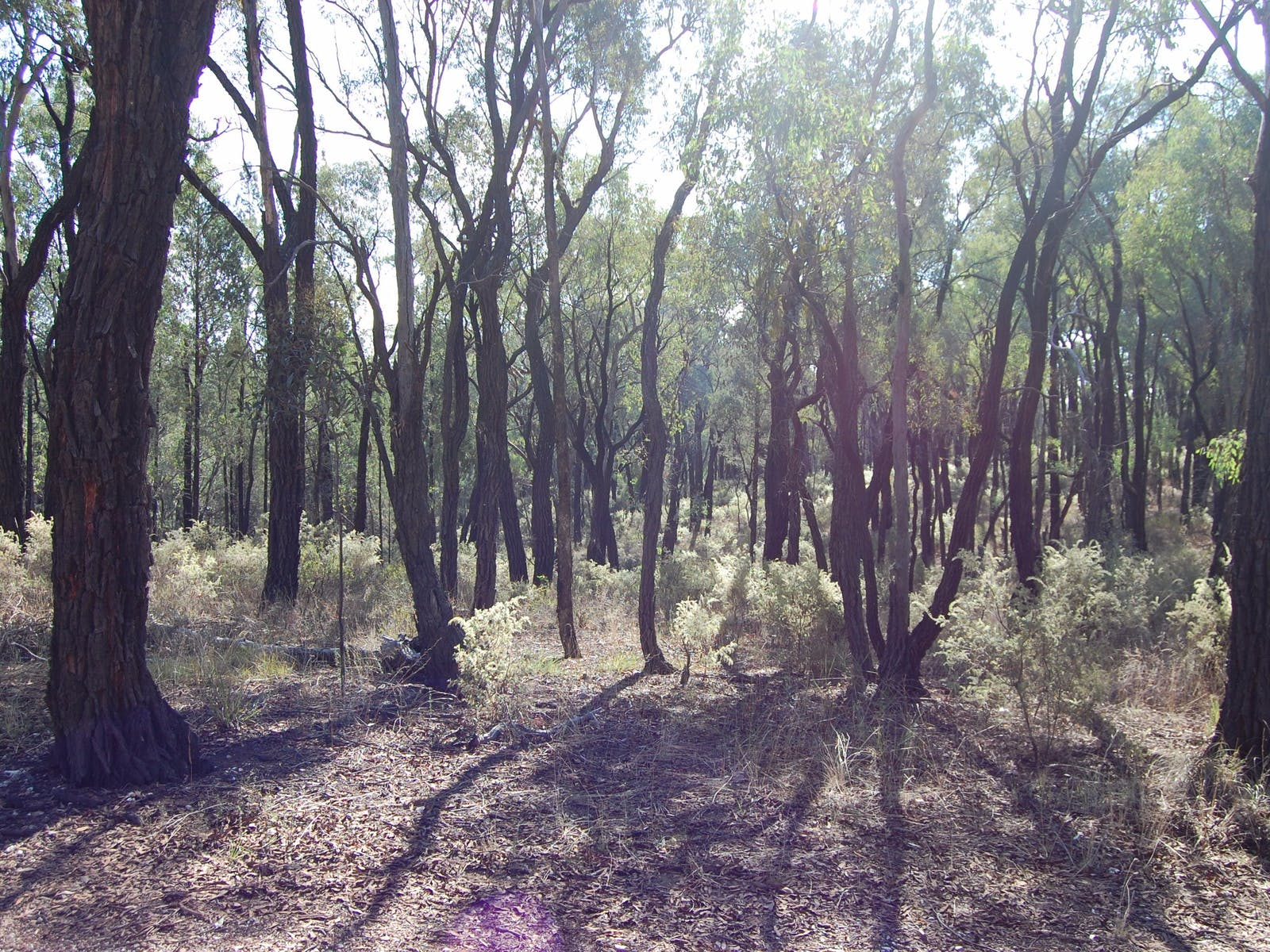 Ironbark forest in Chiltern-Mt Pilot National Park