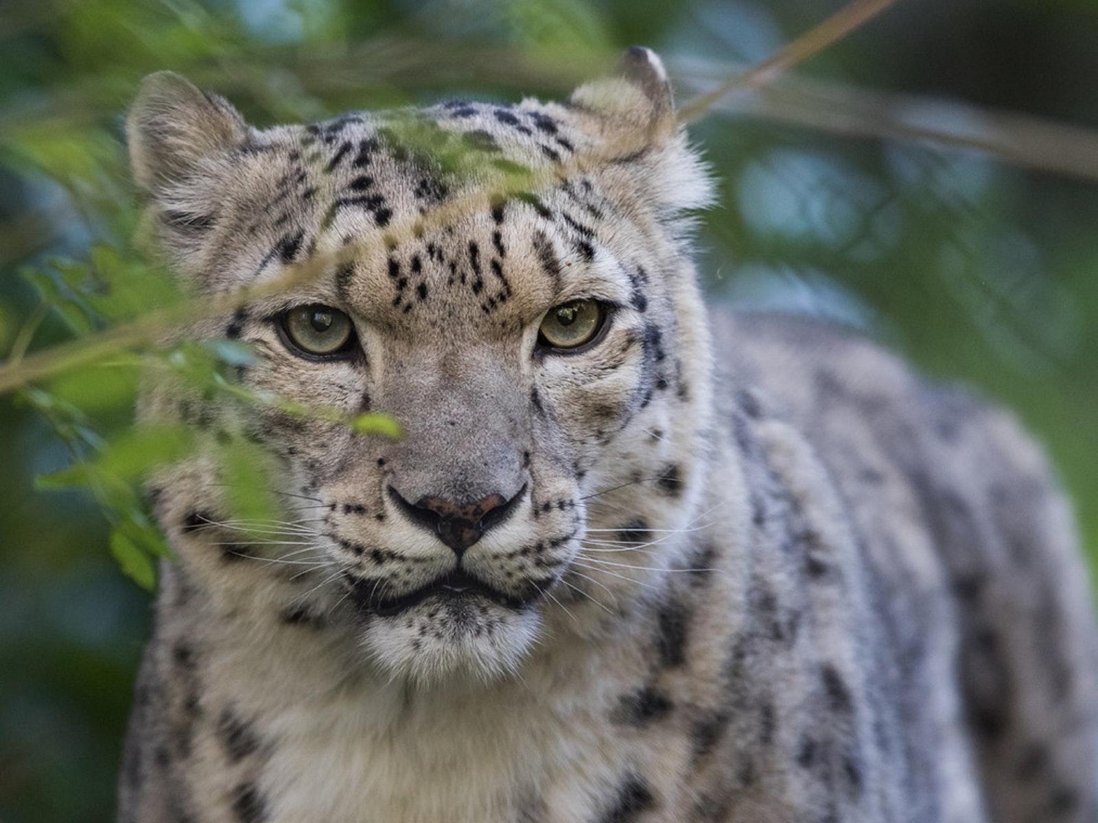 Family activities melbourne victoria australia snow leopard negle Gallery