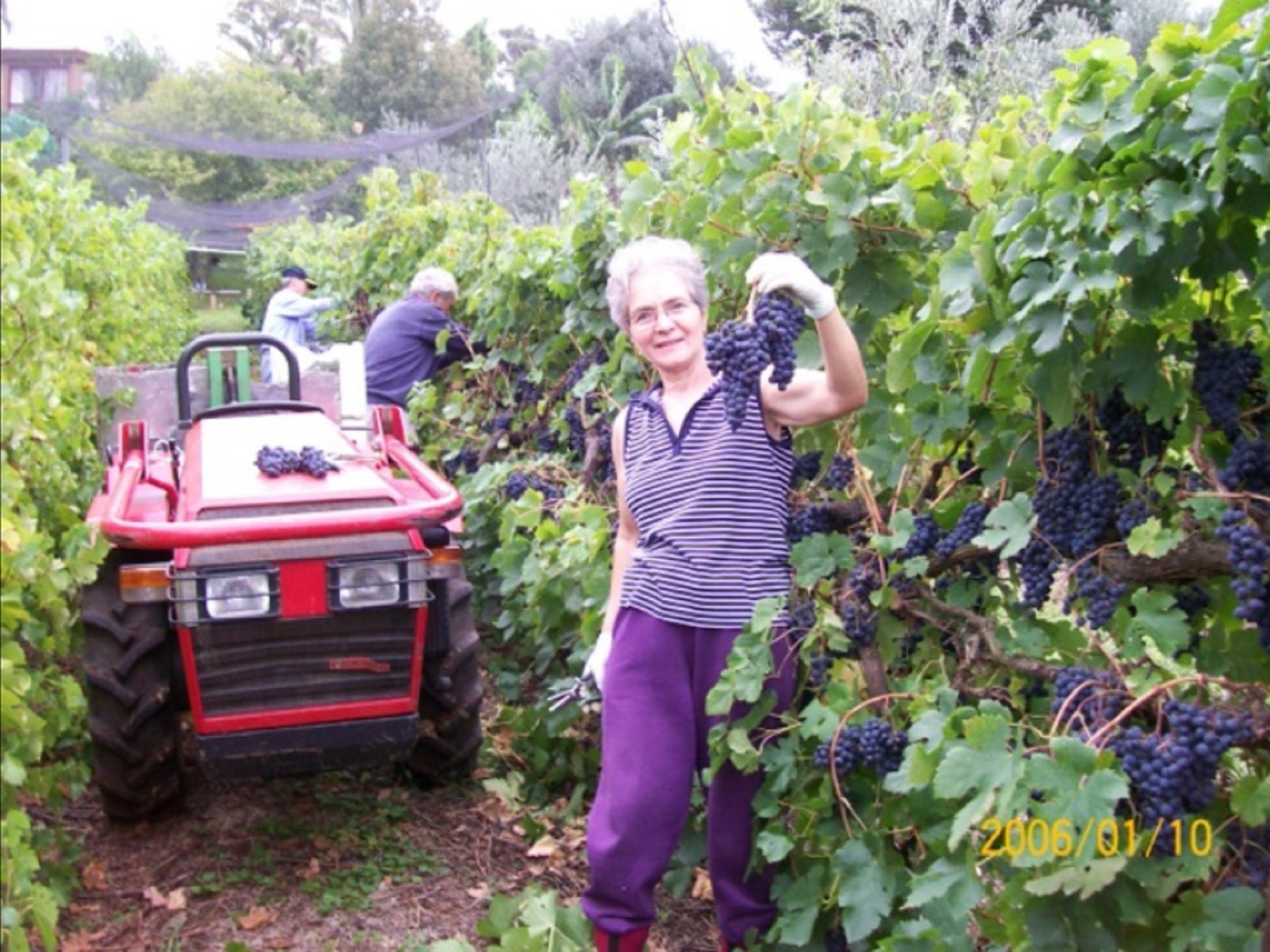 A Toast to Vendemmia, Discover The Secrets of Grape Harvesting