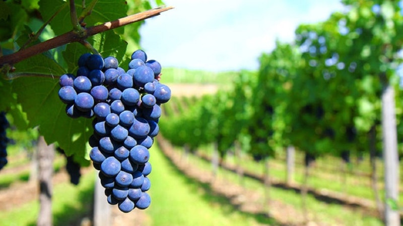 ATDW_Large_Landscape__9613482_DN16_Redwinegrapes.jpg