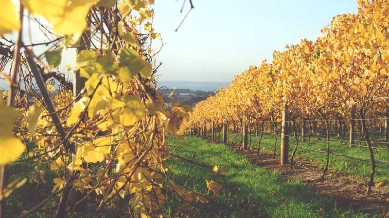 Autumn in the vines