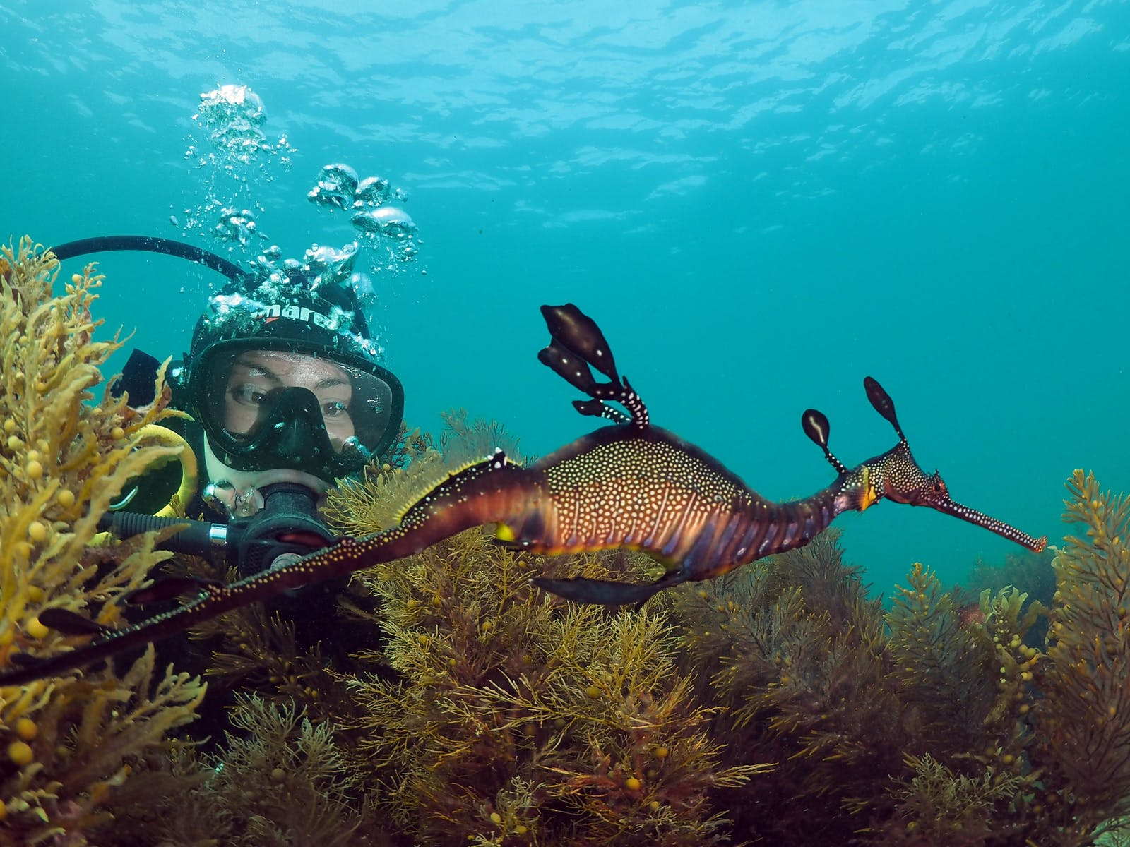 Scuba Dive with Seadragons
