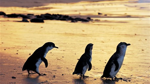 Penguin Parade on Phillip Island