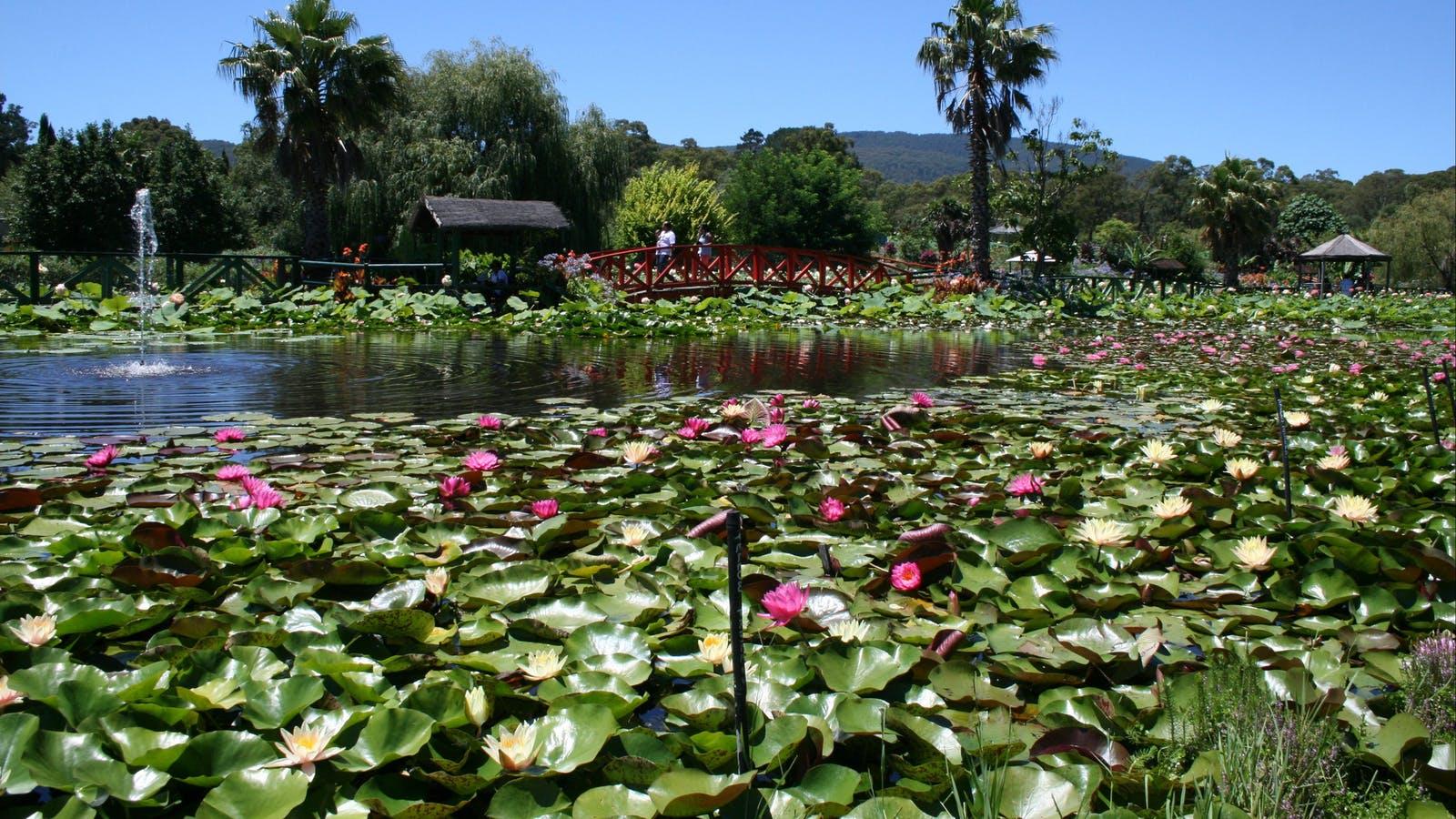 Lotus flower season event yarra valley dandenong ranges masses of waterlily flowers mightylinksfo