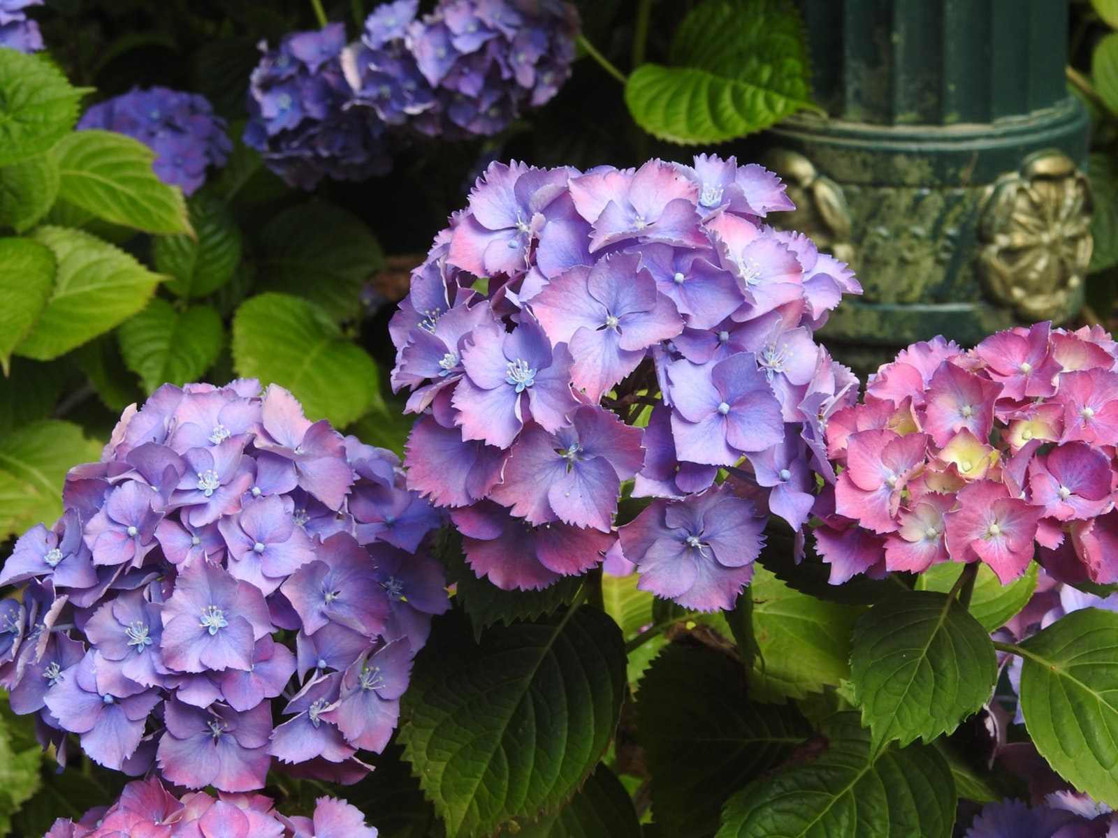 Hydrangeas changing colours at Tindale Autumn Plant Sale