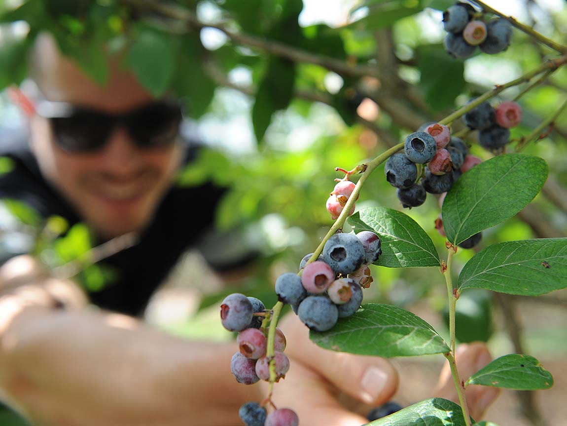 Berry picking, Geelong and the Bellarine, Victoria, Austalia