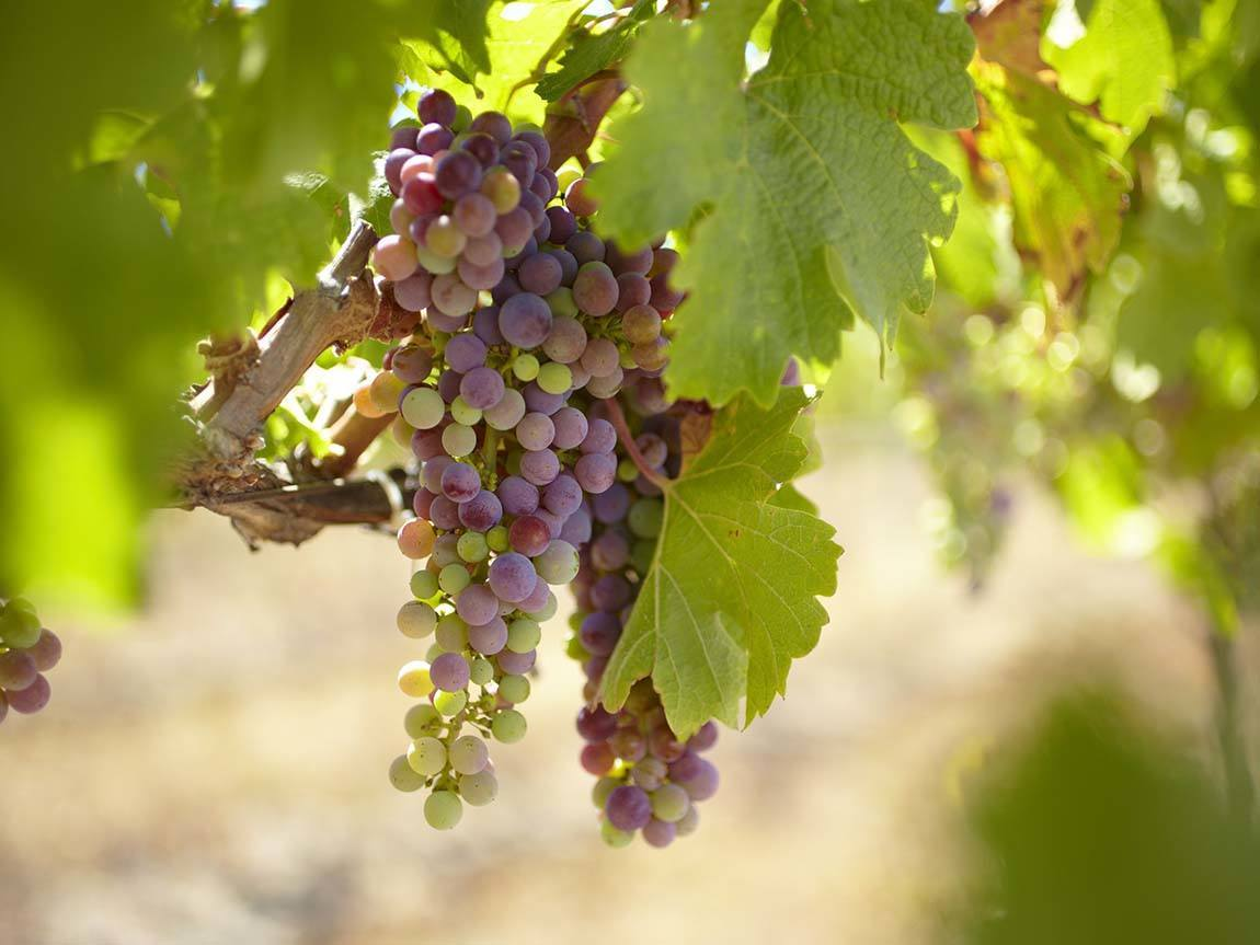 Grapes at Bress Wine, Cider and Produce, Harcourt, Goldfields, Victoria, Australia