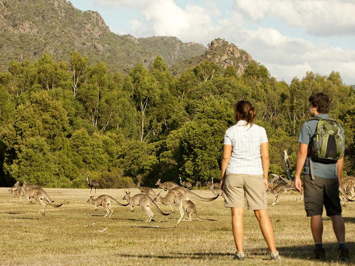 Couple watching kangaroos in the wild, Grampians, Victoria, Australia