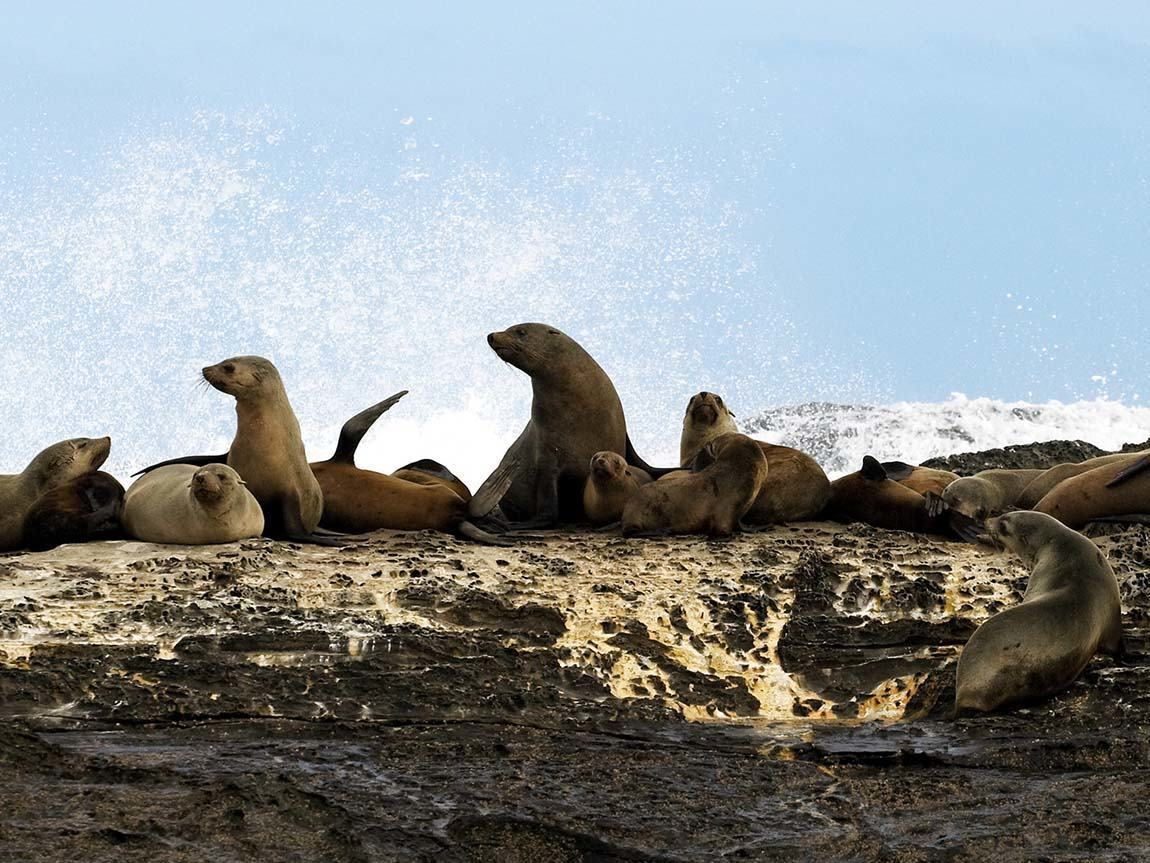 Seals, Great Ocean Road, Victoria, Australia