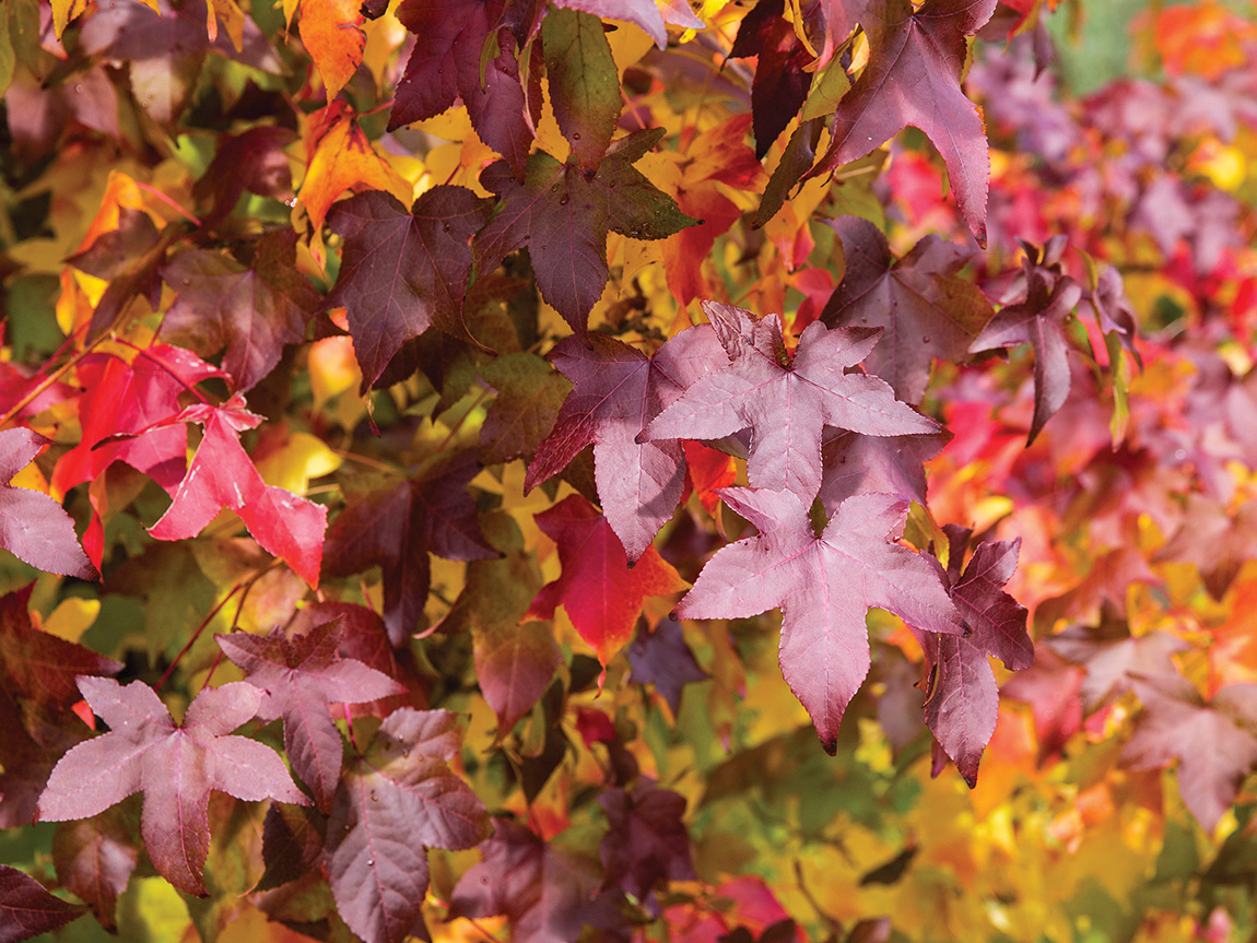 Autumn leaves, Bright, High Country, Victoria, Australia