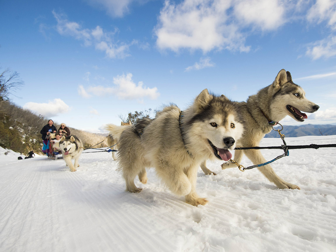 Mt Buller Sled Dog Tours, High Country, Victoria, Australia. Credit: Andrew Railton