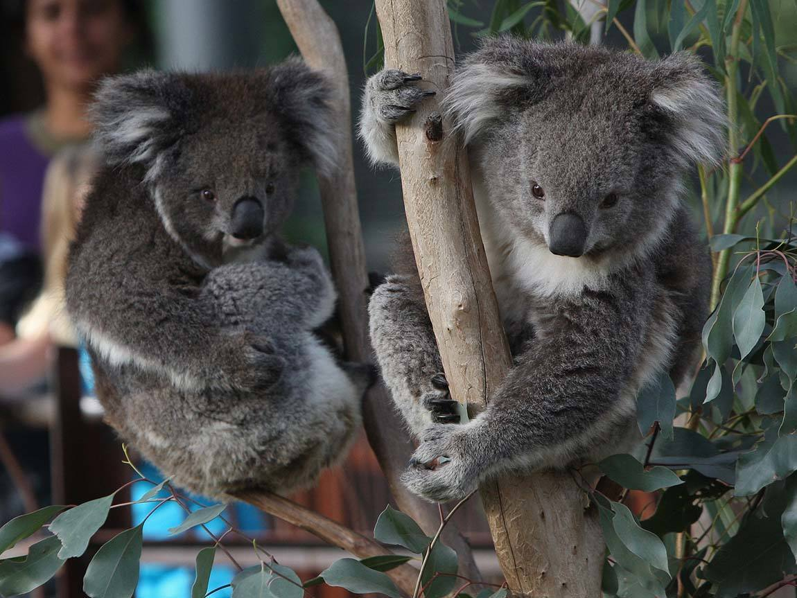 Koalas at the Melbourne Zoo, Melbourne, Victoria, Australia