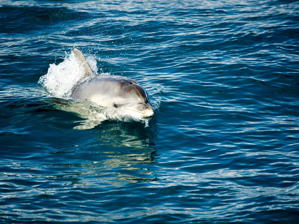 Dolphin in Port Phillip Bay, Mornington Peninsula, Victoria, Australia