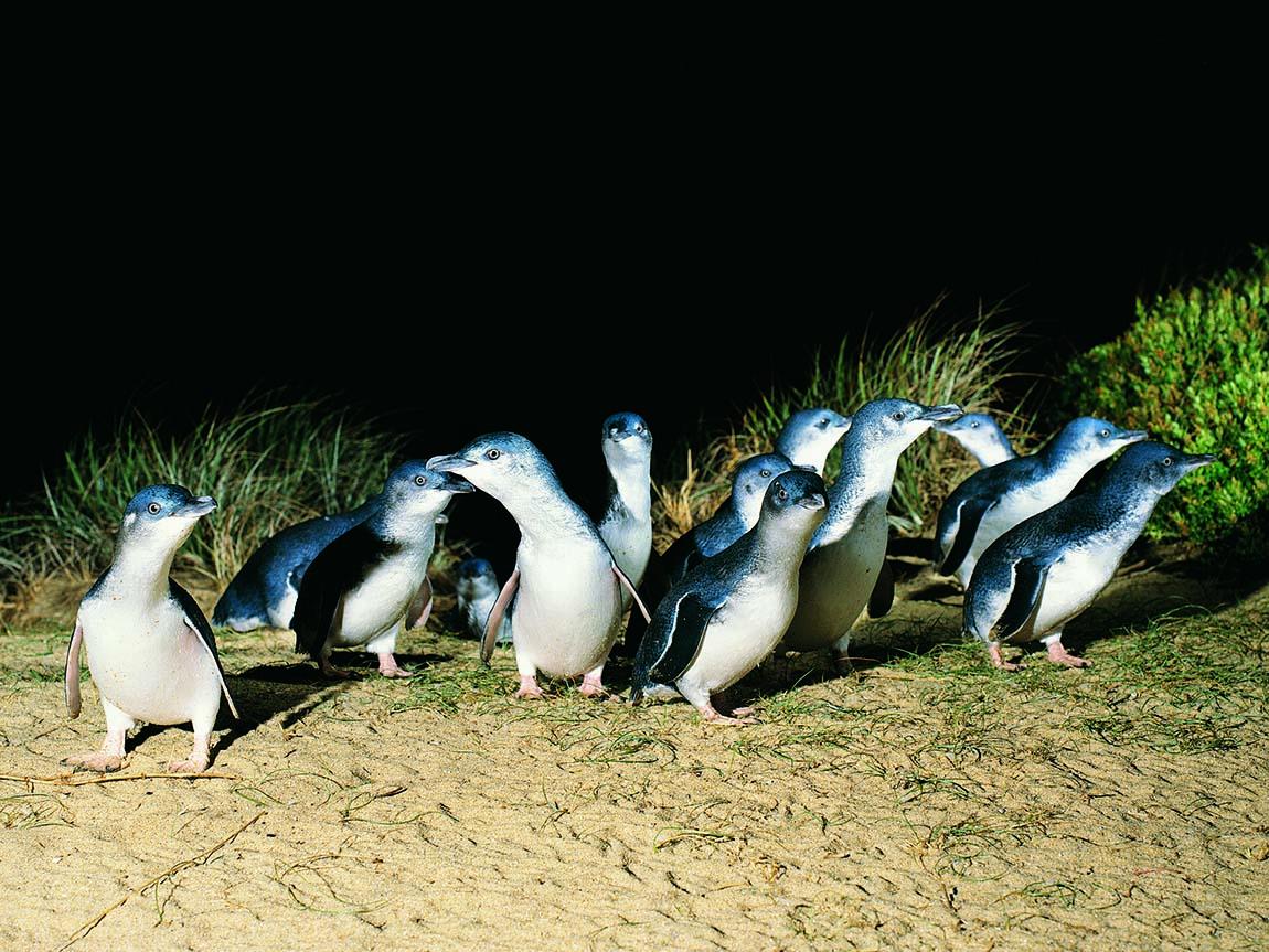 Nature And Wildlife Phillip Island Victoria Australia
